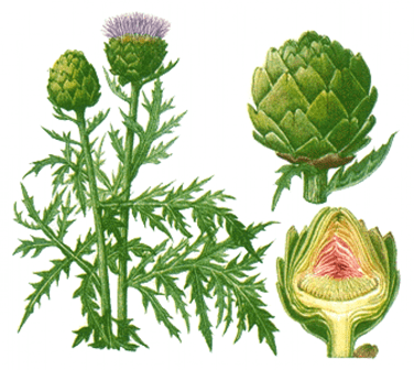 полезные свойства artichoke tea bags