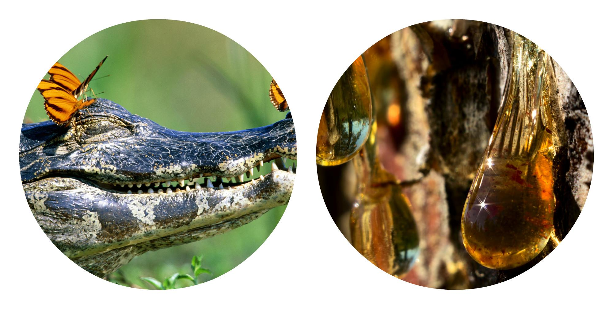 экстракт жира сиамского крокодила