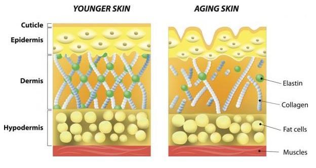 структура молодой и старой кожи