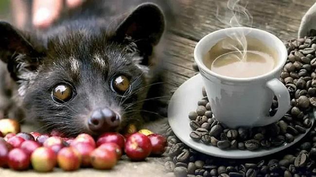 кофе через желудок мусангов