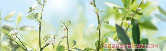 Купить чай из экстракта корня  горца многоцветкового